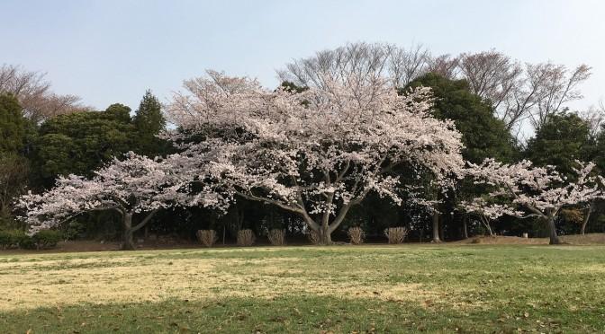 出勤前の桜見物